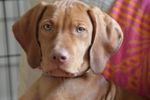 Brady Vizsla puppies