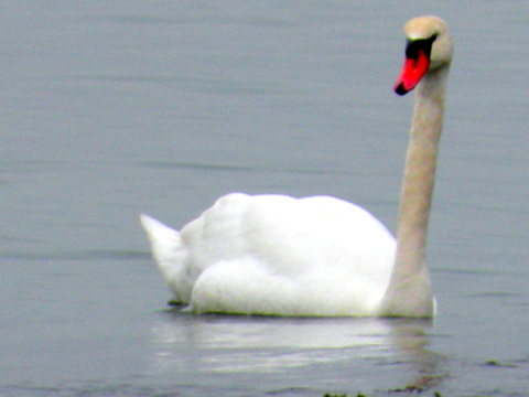 swan, thepromise365.com, jamieeslinger